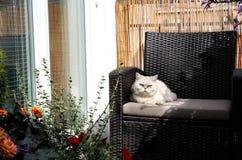 Gato hermoso blanco que se sienta en terraza asoleada Imágenes de archivo libres de regalías