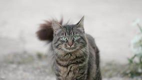 Gato hermoso con el cuento móvil mullido, mirando con el ojo verde a la cámara, presentando, animal doméstico de caricia del niño almacen de metraje de vídeo