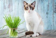 Gato hermoso con la hierba felina Cat Grass para la salud del gato pet Fotos de archivo libres de regalías