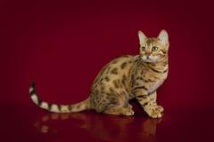 Gato hermoso de Bengala en fondo del estudio Foto de archivo