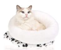 Gato hermoso de Ragdoll en la cama blanca de la piel Fotografía de archivo
