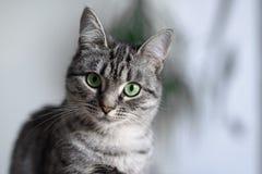 Gato hermoso de Shorthair del americano con los ojos verdes foto de archivo libre de regalías