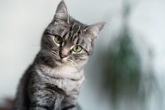 Gato hermoso de Shorthair del americano con los ojos verdes fotografía de archivo libre de regalías