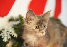 Gato hermoso del color inusual ahumado en un interior del ` s del Año Nuevo a la chimenea con las ramas, los calcetines y la deco Fotos de archivo libres de regalías
