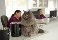 Gato hermoso en la recepción de un veterinario Foto de archivo