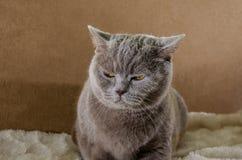 Gato hermoso, gris de la raza escocesa adentro en un fondo azul fotografía de archivo libre de regalías