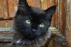 Gato hermoso joven de pelo largo Imágenes de archivo libres de regalías