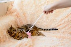 Gato hermoso lindo de Bengala en la alfombra Foto de archivo