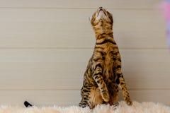 Gato hermoso lindo de Bengala en la alfombra Imagen de archivo