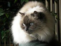 Gato Himalayan Imagen de archivo