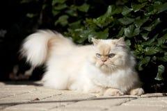 Gato Himalayan Imagem de Stock