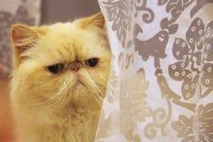 Gato Himalayan fotografía de archivo libre de regalías