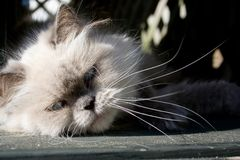 Gato himalayan de la punta azul foto de archivo libre de regalías