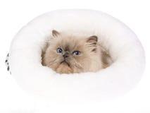Gato Himalayan del Bluepoint en cama de la piel Fotos de archivo