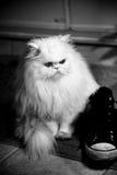Gato himalayan persa Imagenes de archivo