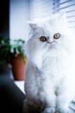 Gato himalayan persa blanco Foto de archivo