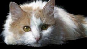 Gato Home Fotografia de Stock Royalty Free