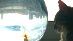 Gato Home e um peixe do ouro video estoque