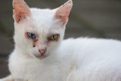 Gato impar branco do olho Imagem de Stock Royalty Free