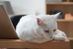 gato impar-eyed foto de stock royalty free