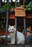 gato Impar-eyed em Florença, Itália imagens de stock royalty free