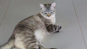 Gato imponentemente hermoso tailandés que miente en piso almacen de metraje de vídeo