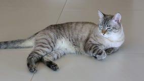 Gato imponentemente hermoso tailandés que miente en piso almacen de video