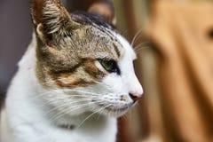 Gato indonesio bicolor pet Primer fotografía de archivo libre de regalías