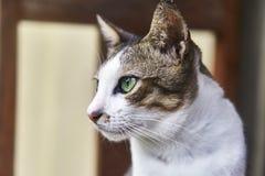 Gato indonesio bicolor pet Primer foto de archivo