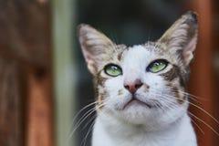 Gato indonesio bicolor pet Primer fotografía de archivo