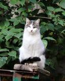 gato infectado con herpesvirus felino - rinotraqueítis o chlamydiosis viral felina - psittaci del Chlamydia después de ojo perdid imagenes de archivo