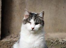 gato infectado con herpesvirus felino - rinotraqueítis o chlamydiosis viral - psittaci del Chlamydia después de ojo perdidoso imagenes de archivo
