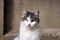 gato infectado con herpesvirus felino - rinotraqueítis o chlamydiosis viral - psittaci del Chlamydia después de ojo perdidoso fotografía de archivo libre de regalías