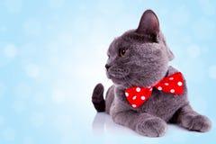 Gato inglês grande com a fita vermelha em sua garganta Fotos de Stock Royalty Free