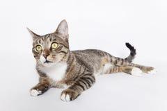 Gato inquisitivo Fotos de archivo libres de regalías