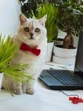 Gato inteligente grande en la corbata de lazo roja que se sienta cerca con el ordenador portátil y muy atento que nos mira Imagenes de archivo