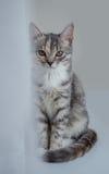 Gato interesante de la mirada Imagen de archivo libre de regalías