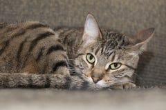 Gato irritadiço cansado Fotos de Stock Royalty Free