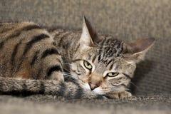 Gato irritadiço cansado Fotografia de Stock