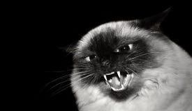 Gato irritado fotografia de stock royalty free