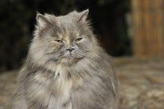 Gato irritado Imagem de Stock