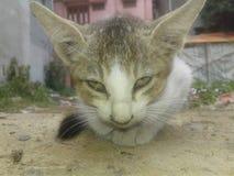 Gato irritado Imagem de Stock Royalty Free