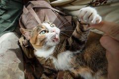 Gato irritado do gengibre bonito que joga com mão da mulher e que morde a com emoções engraçadas fotos de stock royalty free