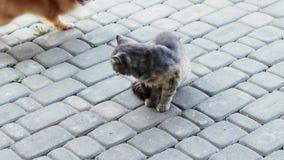 Gato irritado que luta com pouco cão O Spitz quer morder o gato pela cauda, animais engraçados video estoque