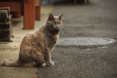 Gato japonés de la calle Fotos de archivo