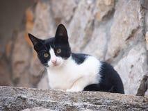 Gato joven, (6) blanco y negro Fotografía de archivo