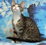 Gato joven blanco rayado Imagenes de archivo