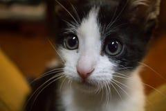 Gato joven blanco y negro que mira la cámara Imágenes de archivo libres de regalías