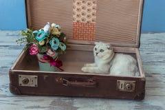 Gato joven de la raza de la chinchilla dentro de la maleta del vintage Imágenes de archivo libres de regalías