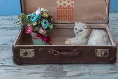 Gato joven de la raza de la chinchilla dentro de la maleta del vintage Fotografía de archivo libre de regalías